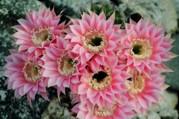 Echinopsiscactus