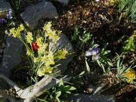 dwarf-narcissus-and-dwarf-reticulated-purple-white-iris.jpg