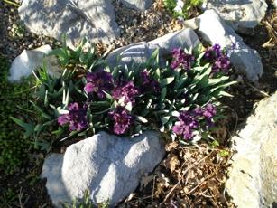 purple-dwarf-iris.jpg