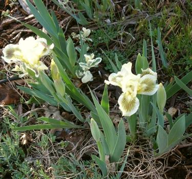 white-dwarf-iris.jpg